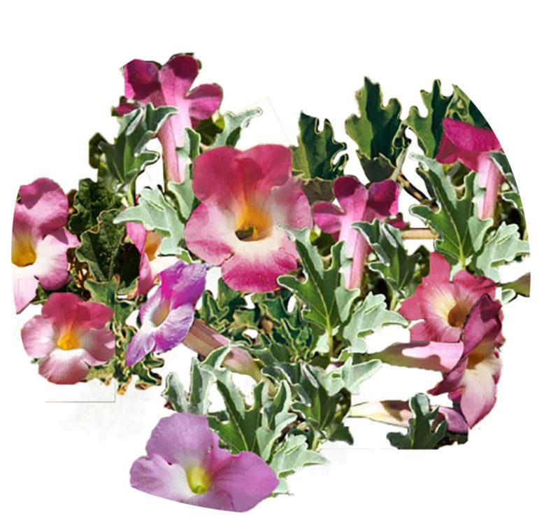 l harpagophytum procumbens